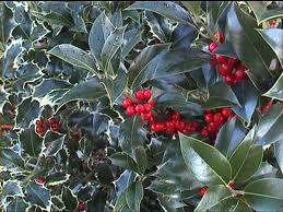 Evergreen Holly Shrub