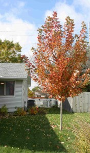 Autumn Flame Red Maple Fall Color